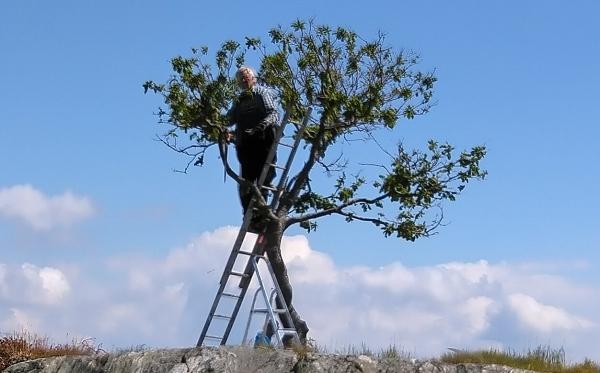 Man avverkar grenar på ikonisk ek i Brännö Rödsten